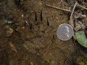 Striped skunk print. The long front claws here are most notable.