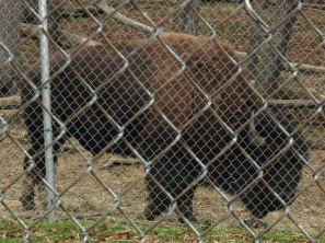 American Bison (Bison bison). As is obvious from the fence, this is not a wild animal, but it is in its natural range. Many of the bison in America today are descendants of bison crossbred with cows. South Park, Pennsylvania. Nov, 2009.