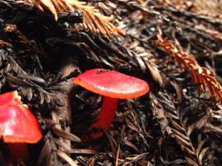 Scarlet Waxcap (Hygrocybe coccinea). Found growing under redwoods. Common in leaf litter under redwood trees. Muir National Monument, California. Nov, 2009.