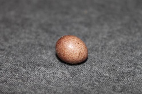 House Wren egg. Obtained from a backyard birdhouse.