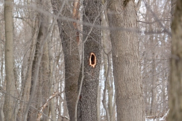 Woodpecker holes can help identify what birds may be in your area. A large, oval-shaped hole like this one is indicative of a pileated woodpecker. This is likely a recently used nesting cavity site.