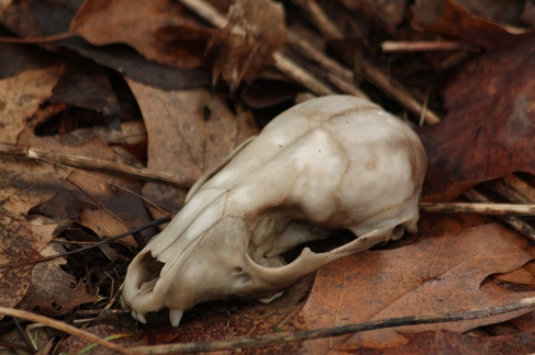 A raccoon skull. If you wander in the woods long enough and take off-beat trails, you can find lots of interesting things. I have seen enough raccoon skulls and bones to last a lifetime.
