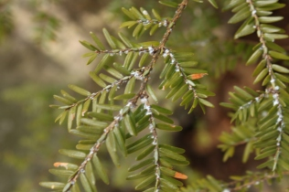 Eastern Hemlock (Tsuga canadensis). This picture shows woolly adelgid infestation on foliage. The adelgid is an invasive aphid that can defoliate entire trees and has caused mass die offs of hemlock trees in the Southern Appalachians. Cooper's Rock State Forest, West Virginia. March, 2014.