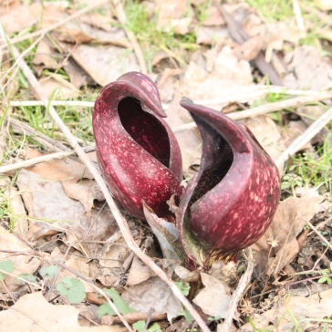 Eastern Skunk Cabbage (Symplocarpus foetidus). The flower is a simple spathe and arises early in Spring before the leaves. This skunk cabbage flower is exothermic--producing its own heat, often melting the snow around it. It also has a foul odor like rotting flesh to attract pollinating flies. The leaves are large and edible if boiled extensively or dried for a month or so, otherwise the taste is oddly spicy and burns the mouth. South Park, Pennsylvania. March, 2010.