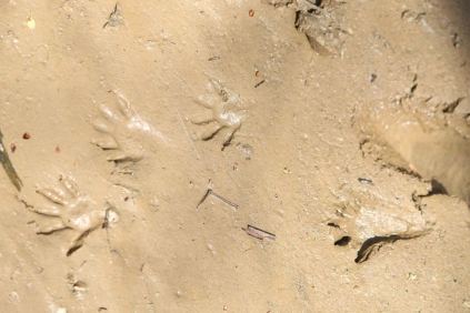 Raccoon tracks in mud near a stream. Animal prints are easier to spot and identify in mud or sand near wet stream banks.