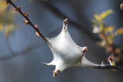 A tent caterpillar nest on tree branch. The nest, built by the female moth, contains the eggs and then the larval caterpillars emerge and consume the foliage of the branch they are found on. They can do considerable damage to a branch of a tree.