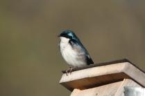 Tree Swallow (Tachycineta bicolor). South Park, Pennsylvania. Apr, 2010.