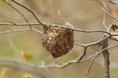 Each bird constructs nests differently. As far as I can tell, this is a nest of a vireo. The nest hangs in a fork of a branch and is built from bark strips, grasses, spider silk, and other materials. Fall is a great time to find nests from birds.