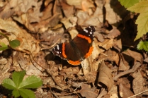 Red Admiral (Vanessa atalanta) A common butterfly throughout North America and Europe. Farmington, Pennsylvania. May, 2010.