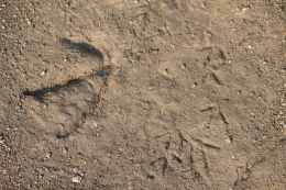 The large print to the left is a Canada Goose. The smaller prints are likely from a killdeer spotted near these tracks.