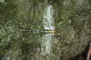 Lancet Clubtail (Gomphus exilis)? One of many similar species of dragonflies. Farmington, Pennsylvania. May, 2010.
