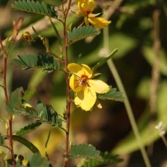 Partridge Pea (Chamaecrist fasciculata). Delaware Seashore State Park, Delaware. Aug, 2010.