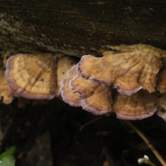 Violet Polypore (Trichaptum biforme). This small fruiting body is common throughout U.S. hardwoods. Identifiable by the purplish rim. Grows on decaying wood. North Park, Pennsylvania. Sept, 2015.