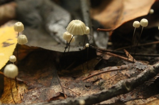 Pinwheel Mushroom (Marasmius rotula). Tiny mushroom growing on leaf litter. Gilled. North Park, Pennsylvania. Sept, 2015.