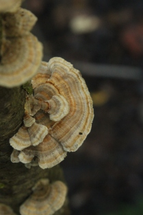 Turkey Tail (Trametes versicolor). Found growing on decaying logs and snags. Pored underside. North Park, Pennsylvania. Sept, 2015.