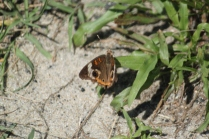 Common Buckeye (Junonia coenia). A common butterfly throughout North America except Pacific Northwest and tundra. Delaware Seashore State Park, Delaware. Aug, 2010.