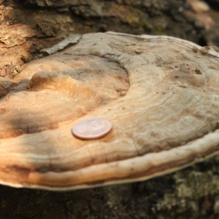 Artist Conk (Ganoderma applanatum). A medium to large bracket fungi found growing on dead wood--often large logs and stumps. The white underside can be etched with a sharp tool to create a drawing or leave a message. Pore underside. North Park, Pennsylvania. Sept, 2015.