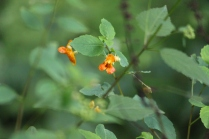 Spotted Jewelweed (Impatiens capensis). A very interesting and useful plant. The crushed leaves can be rubbed on a poison ivy rash to relieve itching. Two different flowers may form, the first is the orange one pictured here and the second is a self-fertilizing enclosed flower. When rain drops rest on the leaves they appear like jewels, hence the name. Farmington, Pennsylvania. May, 2010.