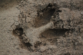 Deer print in sand. The heel hit, which means the deer was running quite fast.