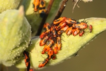 Large Milkweed Bug (Oncopeltus fasciatus). Larvae, pictured here, are gathered on a milkweed seed pod where they feed on the seeds. The adults, one at bottom left and another in the background at top, are winged and will congregate in masses of bugs to mate. Farmington, Pennsylvania. September, 2010.
