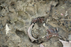 Print from a black bear. The paw pad print is less identifiable here, but the toe prints are obvious.
