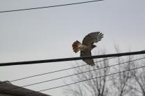 Red-tailed Hawk (Buteo jamaicensis). Pittsburgh, Pennsylvania. Nov, 2010.