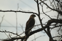Cooper's Hawk (Accipiter cooperii). Pittsburgh, Pennsylvania. Nov, 2010.