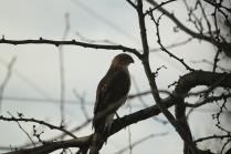 Cooper's Hawk (Accipiter cooperii). Pittsburgh, Pennsylvania. Nov, 2010.