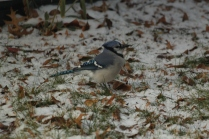 Blue Jay (Cyanocitta cristata). Pittsburgh, Pennsylvania. Dec, 2010.