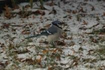 Blue Jay (Cyanocitta cristata). Pittsburgh, Pennsylvania. Dec, 2010.
