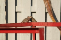 Common Ground-Dove (Columbina passerina) Florida Keys, Florida. Jan, 2011.