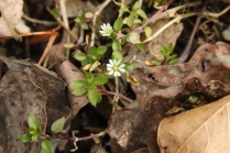 Common Chickweed (Stellaria media). A common garden weed and forest floor covering. Note the