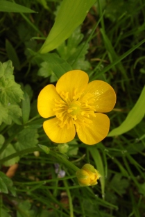 Creeping Buttercup (Ranunculus repens). Prefers swampy, wet locations. Petals have an oily appearance and plant is low to ground. North Park, Pennsylvania. May, 2015.