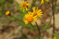 Golden Ragwort (Senecio aureus). This plant produces many small yellow flowers spread out on a tall stalk. Round or heart shaped leaves with rounded teeth at base of plant and more deeply lobed leaves on stalk. Prefers marshy land or wet slopes. North Park, Pennsylvania. May, 2015.