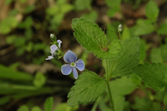Creeping Speedwell (Veronica persica). Small plant with tiny flowers. The leaves are opposite and toothed--similar in appearance to mint. The flower can be light blue to blue or bluish purple. Likes wet soils. North Park, Pennsylvania. May, 2015.