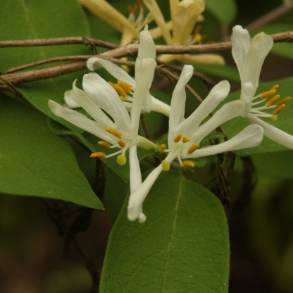 Japanese Honeysuckle (Lonicera japonica). An invasive bush or vine. The plant's flowers do provide nectar and pollen, however, the plant is aggressive in moist areas and often overcrowds many other species. North Park, Pennsylvania. May, 2015.