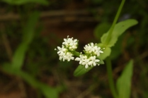 Northern Cornsalad (Valerianella umbilicata). A few very similar relatives. This plant is edible--apparently quite good with corn in a salad. The flowers are very tiny and clusterred tightly on a stalk that splits in two. Prefers wet soil. North Park, Pennsylvania. May, 2015.