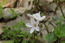 Virginia Springbeauty (Claytonia virginica). Few white or pinkish flowers on a single stalk each petal with deep pink lines. Leaves grass-like. North Park, Pennsylvania. May, 2015