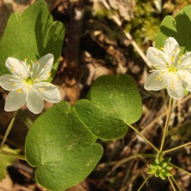 Rue Anemone (Thalictrum thalictroides). Few white flowers with four to seven or eight petals, though typically six. Leaves are three-lobed. North Park, Pennsylvania. May, 2015.