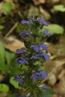 Bugle (Ajuga reptans). This common lawn weed is a pioneer plant in the mint family. Ross Township, Pennsylvania. May, 2015.