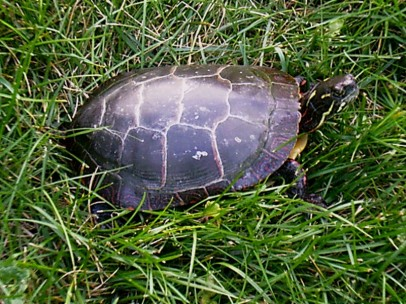 Eastern Painted Turtle (Chrysemys picta). Jebediah--pictured here--is a wild turtle that I caught at a lake and took care of for a while, then released back to the same lake. Farmington, Pennsylvania. Jan, 2006.