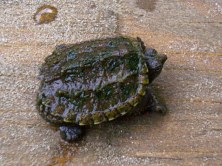 Common Snapping Turtle (Chelydra serpentina). I cared for this young snapping turtle which was caught at a lake and then released back into the same lake later. Farmington, Pennsylvania. Oct, 2004.