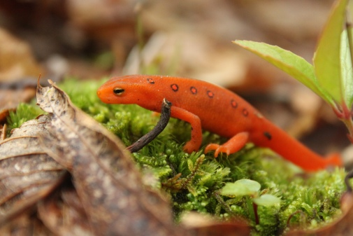 Red Eft, Red Spotted Newt (Notophthalmus viridescens)