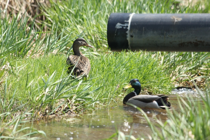 A pair of Mallard Ducks in a stream that runs through a local park and is partly fed by runoff from a nearby road.