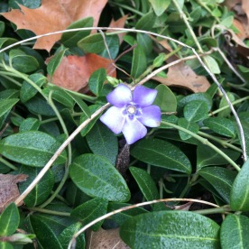 Periwinkle (Vinca sp.). One of a few periwinkle species. Trailing vines produce small blue flowers. Pittsburgh, Pennsylvania. February, 2017.