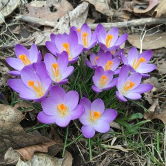 Spring Crocus (Crocus vernus). Commonly planted and naturalised in North America, the spring crocus often blooms before snow melt. Pittsburgh, Pennsylvania. February, 2017.