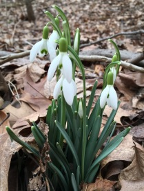 Snowdrops (Galanthus nivalis). Early blooming flowers often planted from bulbs and naturalised in areas of North America. Pittsburgh, Pennsylvania. February, 2017.